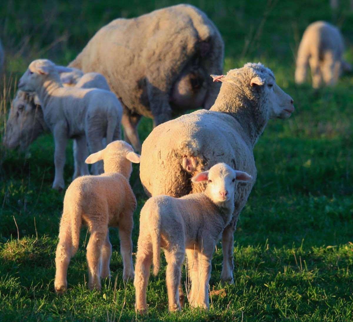 Merino-ewe-and-twins