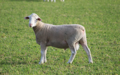 Regulin improves reproductive performance of rams – new research