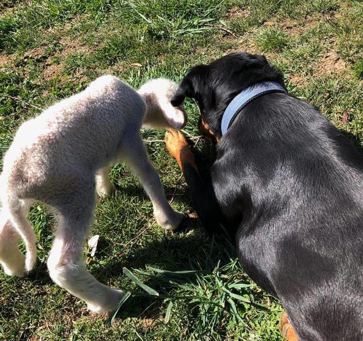 Baby lamb and kelpie puppy