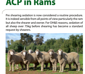 Pre-shearing use of ACP in rams
